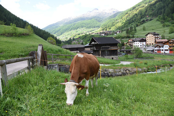 mucca in montagna mucche vitello