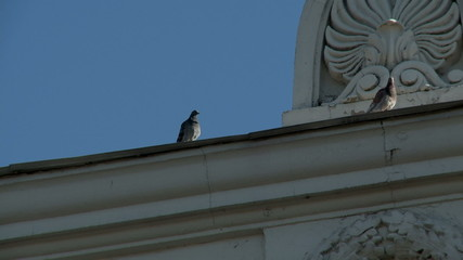 Pigeons on cornice of building, close-up