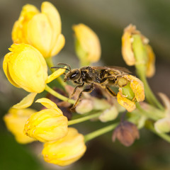 bee on yellow flower in nature. close-up