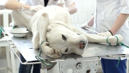 Dog in a veterinary clinic; operating