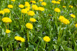 Beautiful green field with small flowers outdoors