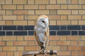 Rescued Barn Owl