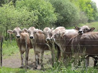 Vaches grises