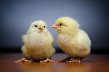 Two baby chickens