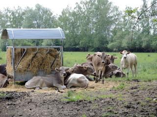 Vaches grises 2