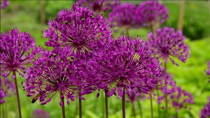 Bee on purple flowers Allium (onion).