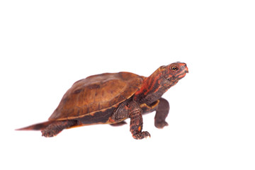 The Ryukyu leaf turtle, Geoemyda japonica, on white