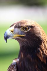 Portrait of an golden eagle