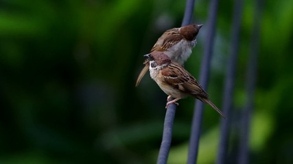 two sparrows are resting on the electricity wire