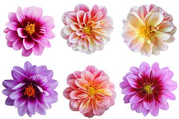 Dahlia flower Set