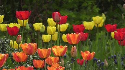 Bright Coloured Spring Tulips Flowers Swaying in Wind