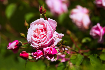 blossoming rose roses plant