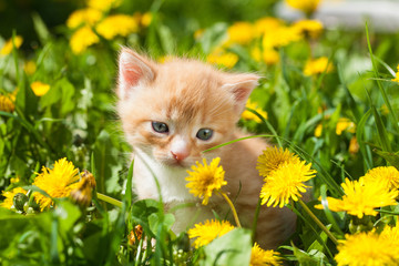 Funny yellow-orange infant kitten