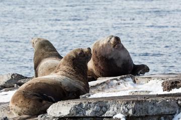 Northern Sea Lion or Steller Sea Lion. Kamchatka Peninsula