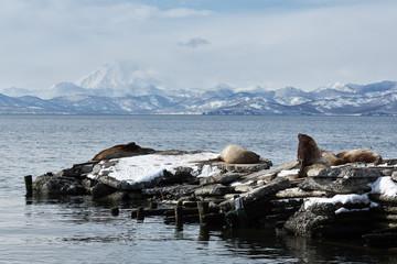 Rookery Northern Sea Lion or Steller Sea Lion. Kamchatka
