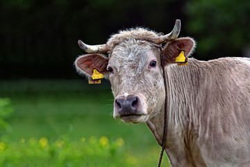 Cow in a clearing, a portrait