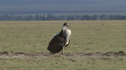 sideview of a kori bustard with nuptial display
