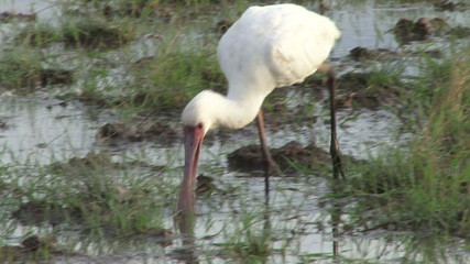 spoonbill looking for food in the swamp