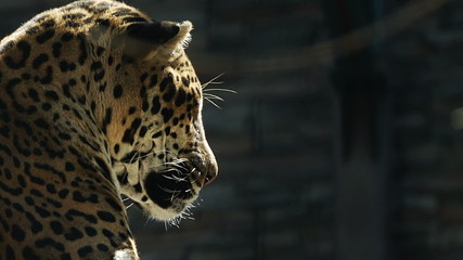 Portrait of Leopard resting, tracking