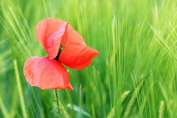 dew on poppy flower summer season