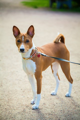 basenji dog on a lead