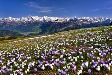 Krokuswiese bei Interlaken mit verschneiten Berner Alpen