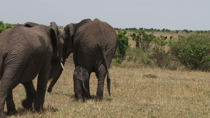 baby elephant following mother from behind.