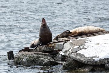 Rookery Steller Sea Lion or Northern Sea Lion. Kamchatka