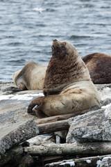 Rookery Northern Sea Lion. Kamchatka, Avachinskaya Bay