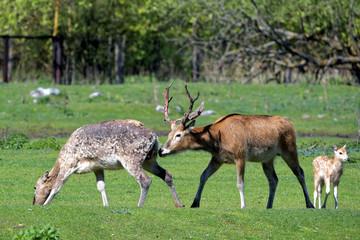 Pere David's deers