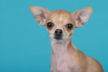 Chihuahua dog at blue background