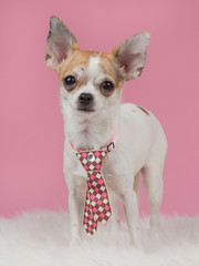Chihuahua wearing a tie with pink background