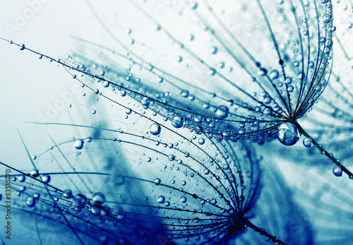 dandelion flower © Alekss