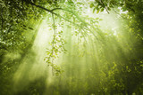 Fototapety Green Forest with Sunbeam