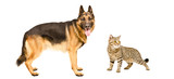 German Shepherd and cat Scottish Straight standing together
