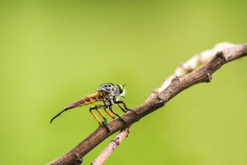 robber fly standing on twig waiting for prey
