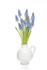 Isolated bunch of grape hyacints in a white vase