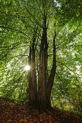 Lind-träd