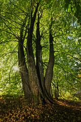 Lindträd