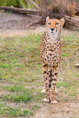 Beautiful Cheetah Gepard, Acinonyx jubatus