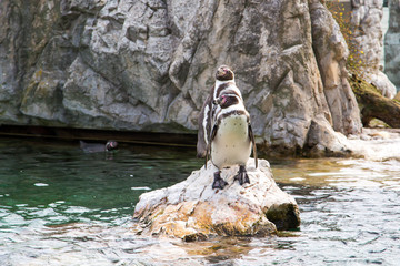 Two Humboldt or Peruvian Penguins