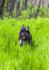 miniature schnauzer dog