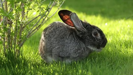 Gray Rabbit on the Grass
