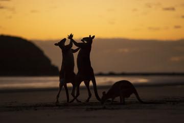 Three kangaroos on beach