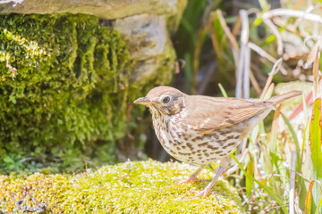 Mistle thrush looking for food