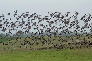 Germany, Lower Saxony, Leer, Oldersum, Swarm of starlings taking wing off meadow