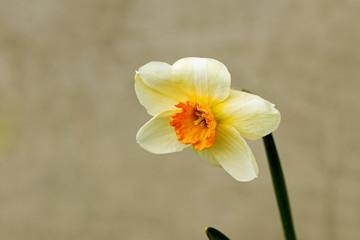 One daffodil flower closeup (4)