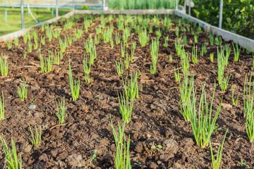 Onions seedling