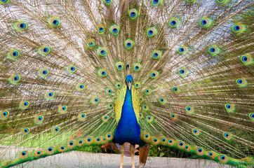 Peacock displaying plumage