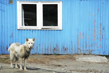 Husky dog outside house